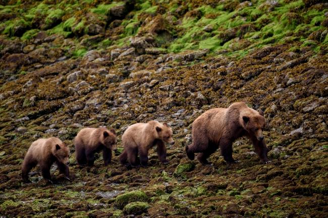A Grizzly bear mom and her cubs spotted at Khutzeymateen Provincial Park.