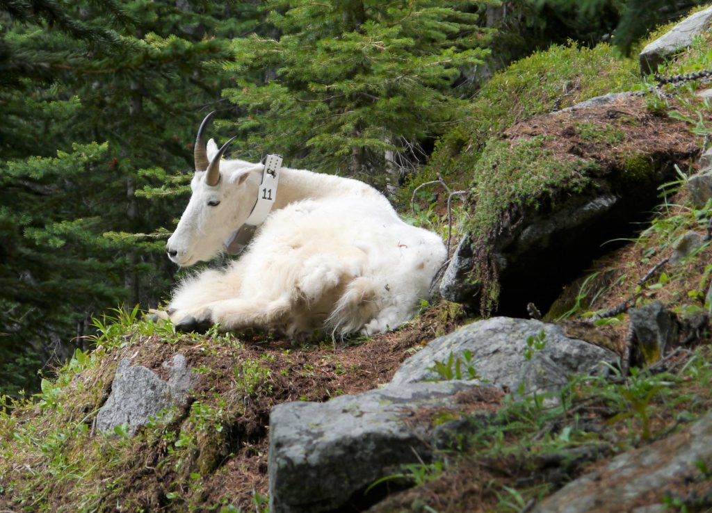 Mountain Goats in Cathedral Park